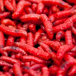 Red Maggot
