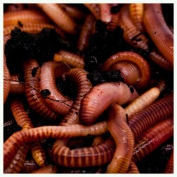 Dendrobaena Worms 125g
