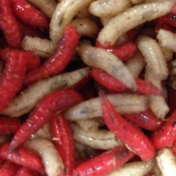 Red/White Mixed Maggot