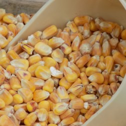 Raw Whole maize 5Kg